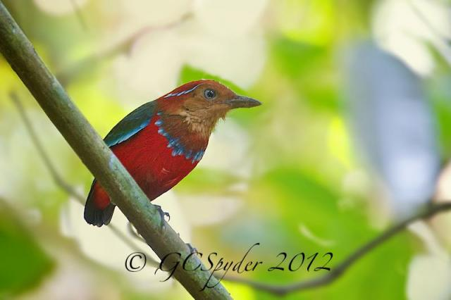 image 6569 of Blue-banded Pitta