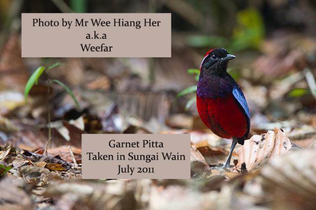 image 7823 of Garnet Pitta