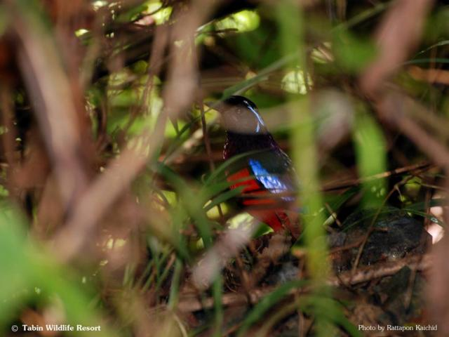 image 6008 of Black-headed Pitta