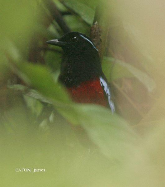 image 2199 of Black-headed Pitta