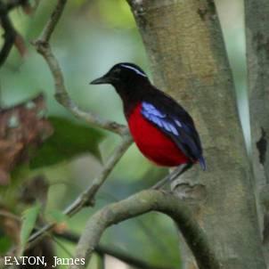 image 3951 of Black-headed Pitta