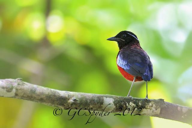 image 6568 of Black-headed Pitta
