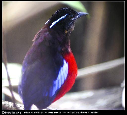 image 6765 of Black-headed Pitta