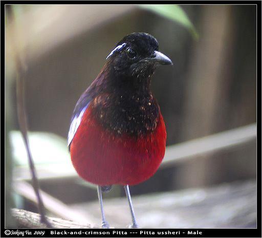 image 6766 of Black-headed Pitta