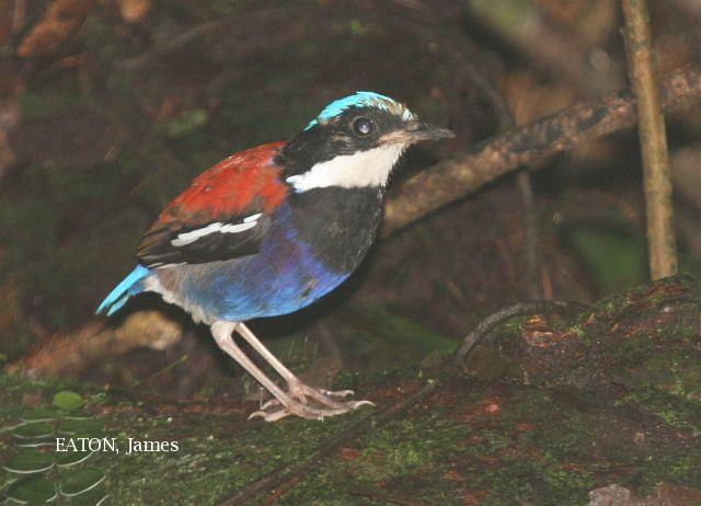 image 2202 of Blue-headed Pitta