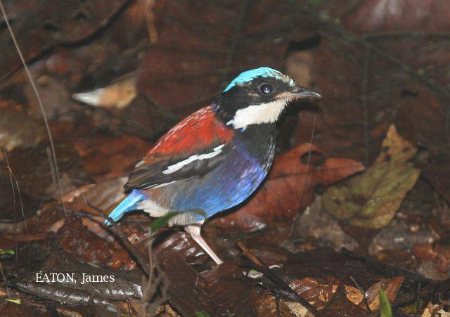 image 2201 of Blue-headed Pitta