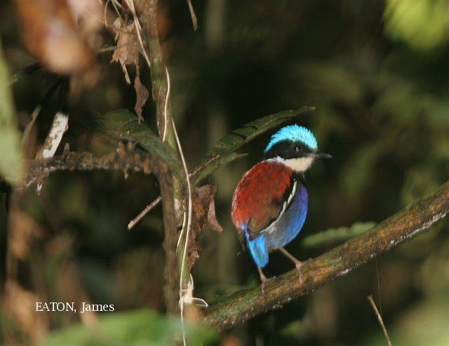 image 3640 of Blue-headed Pitta