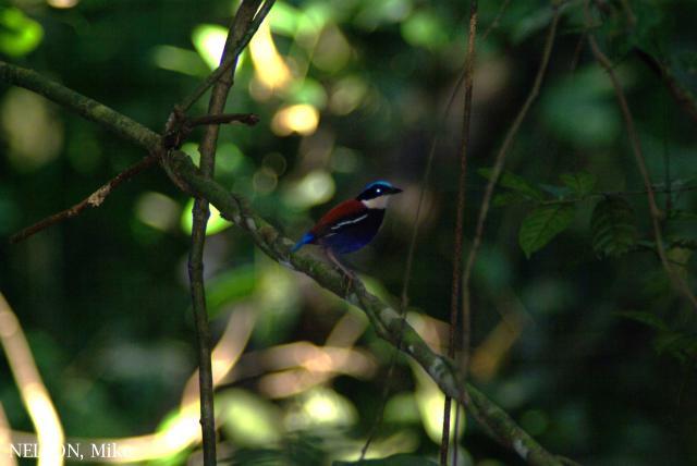 image 6395 of Blue-headed Pitta