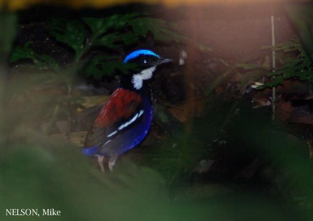 image 6394 of Blue-headed Pitta