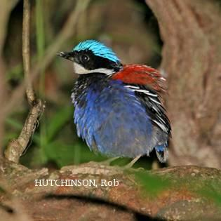image 2067 of Blue-headed Pitta