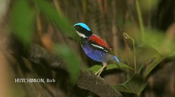 image 3940 of Blue-headed Pitta