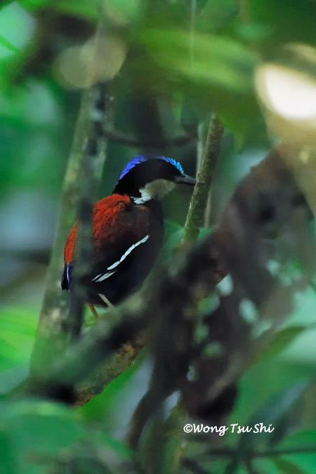 image 432 of Blue-headed Pitta