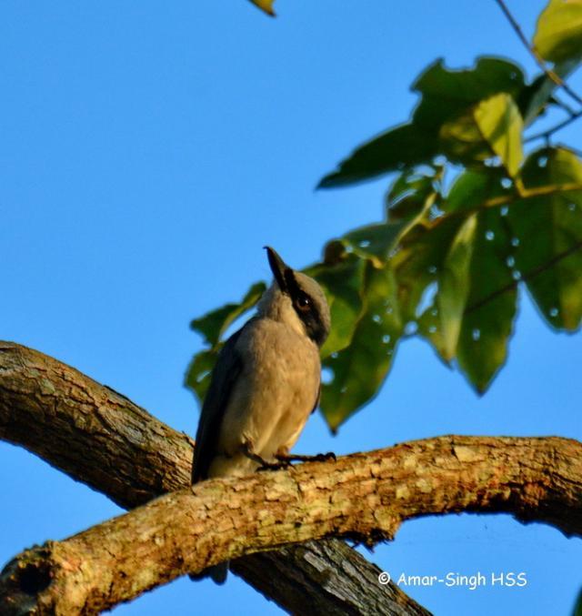 image 7693 of Large Wood Shrike