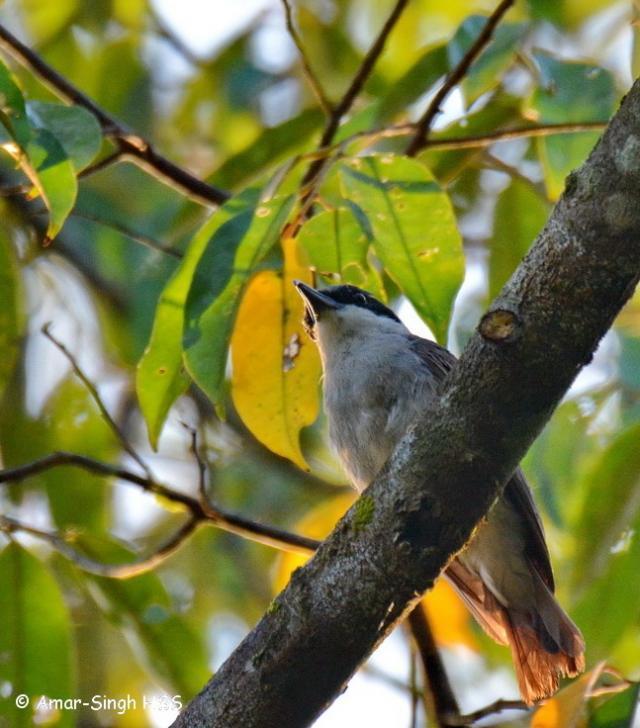 image 7694 of Large Wood Shrike