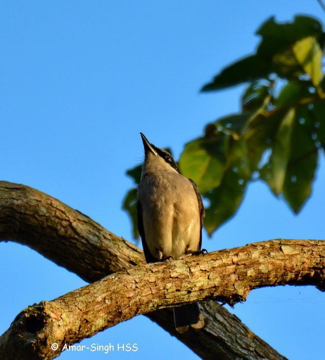 image 7695 of Large Wood Shrike