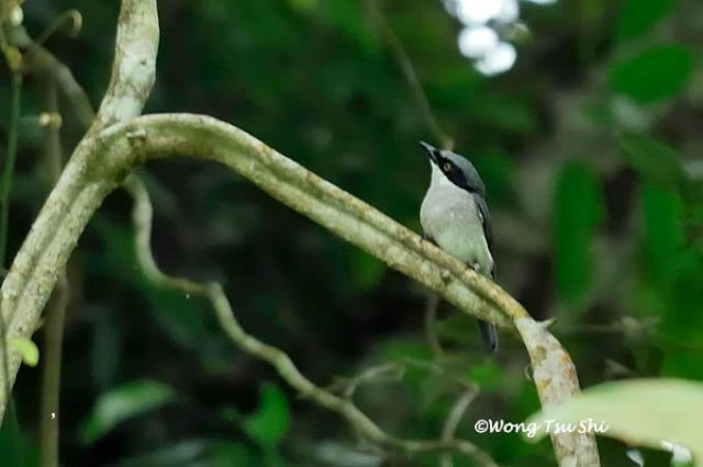 image 1305 of Large Wood Shrike
