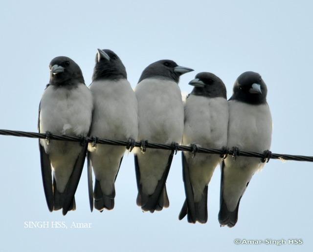 image 6227 of White-breasted Woodswallow