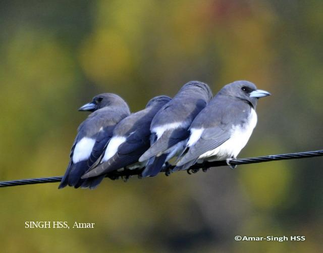 image 6226 of White-breasted Woodswallow