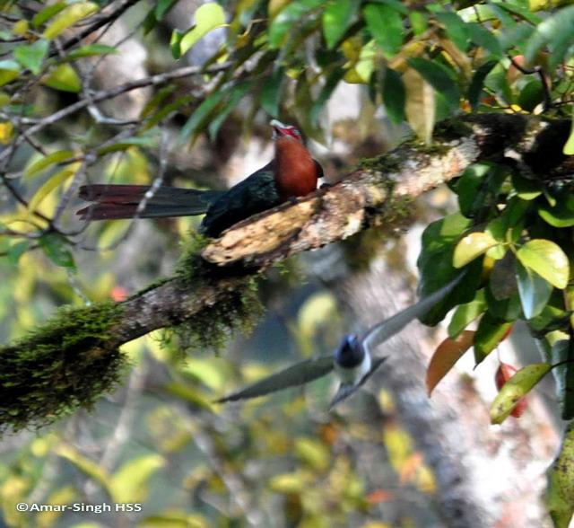 image 6228 of White-breasted Woodswallow