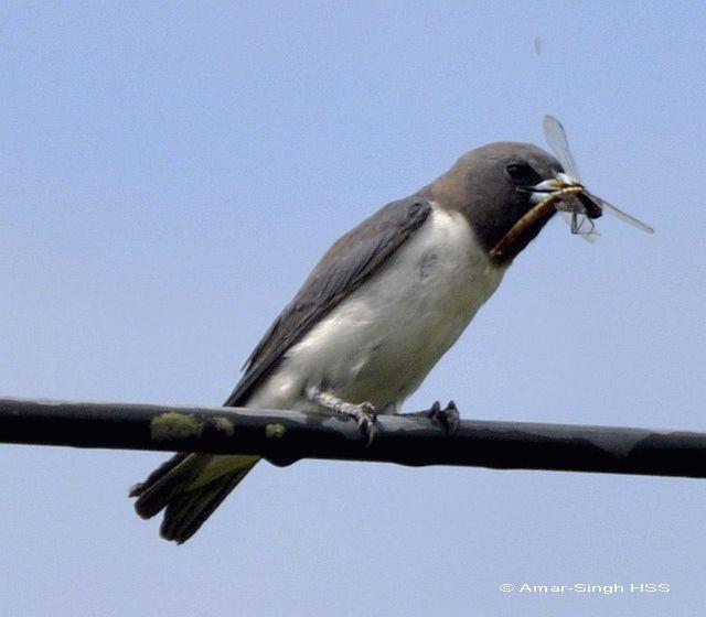 image 4406 of White-breasted Woodswallow