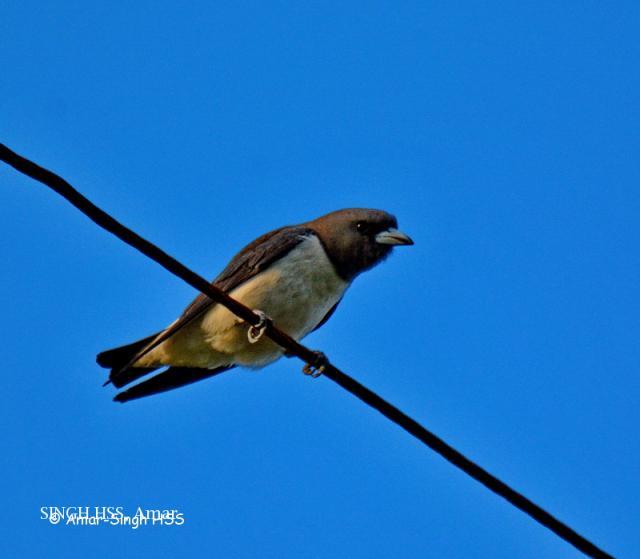 image 7811 of White-breasted Woodswallow