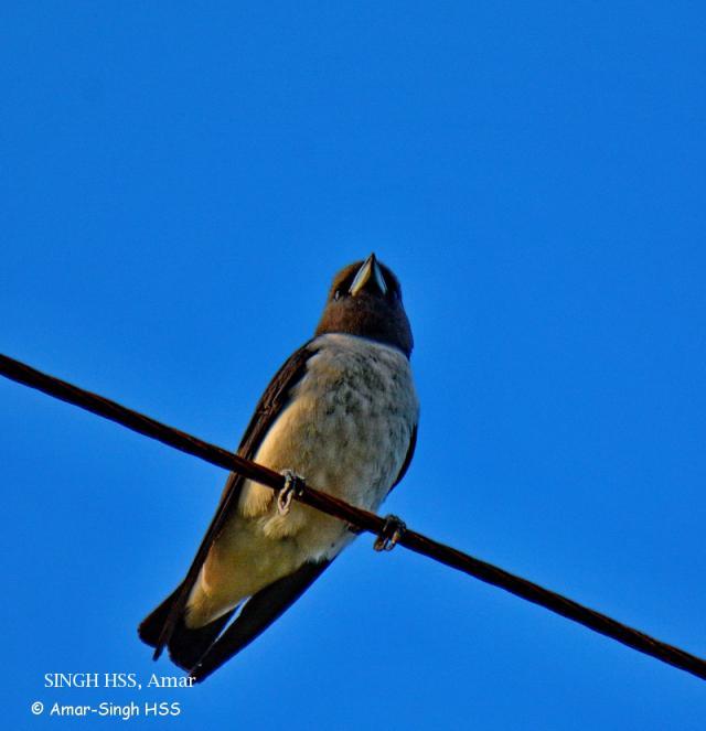 image 7812 of White-breasted Woodswallow