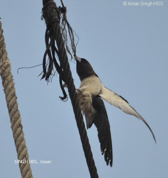 image 6649 of White-breasted Woodswallow