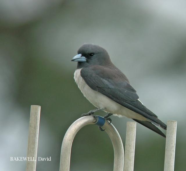 image 4030 of White-breasted Woodswallow