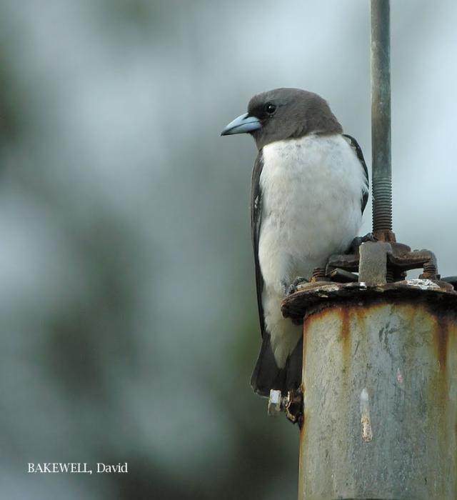 image 4031 of White-breasted Woodswallow