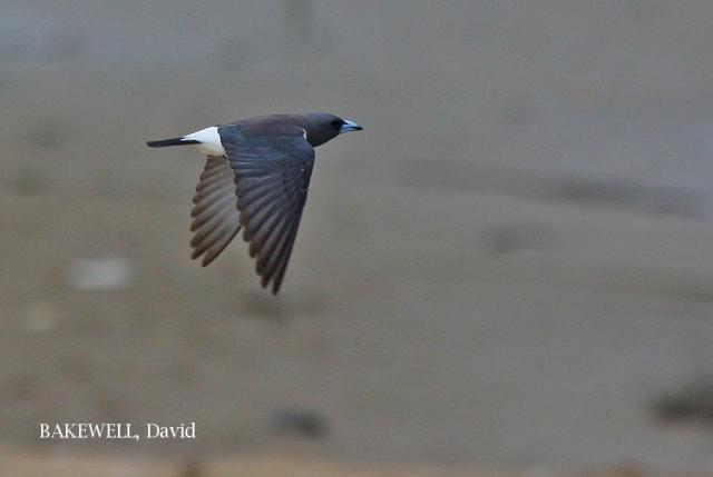 image 4233 of White-breasted Woodswallow