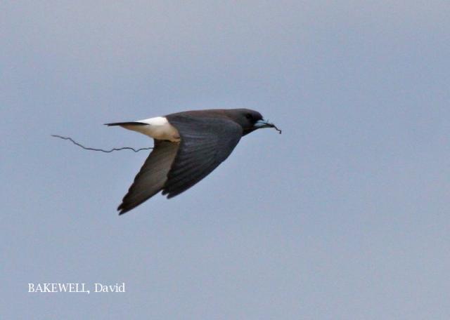 image 4234 of White-breasted Woodswallow