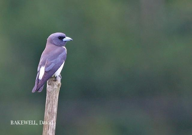 image 4232 of White-breasted Woodswallow