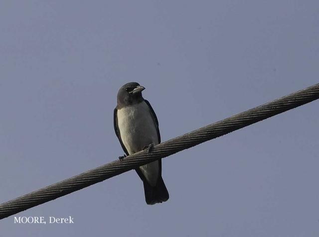 image 3716 of White-breasted Woodswallow
