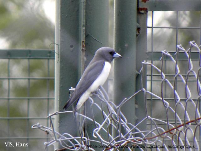 image 5616 of White-breasted Woodswallow