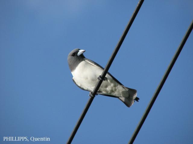 image 1642 of White-breasted Woodswallow
