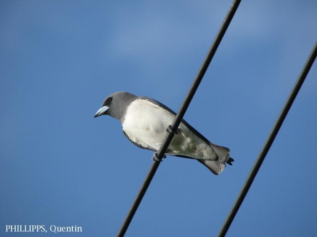 image 1643 of White-breasted Woodswallow