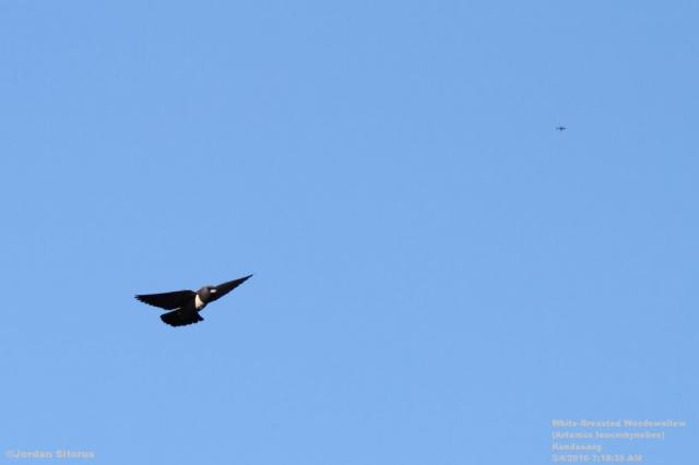 image 3398 of White-breasted Woodswallow