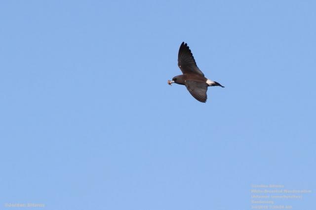 image 3396 of White-breasted Woodswallow