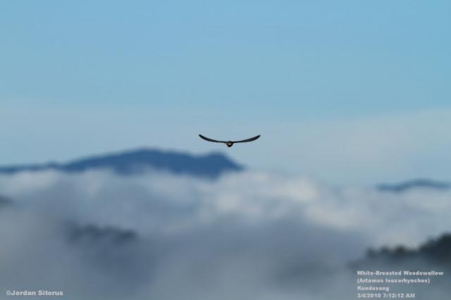 image 3397 of White-breasted Woodswallow