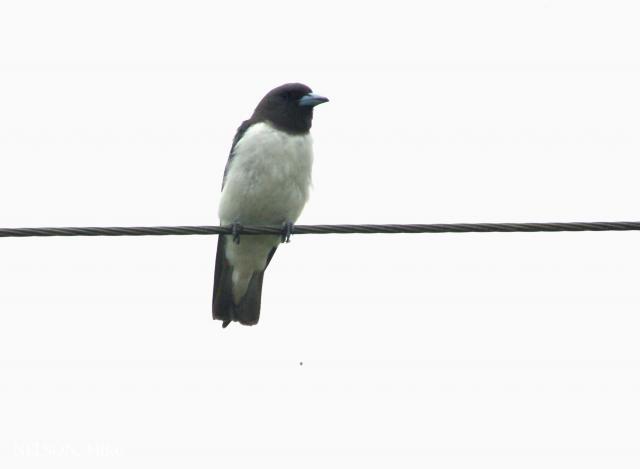 image 6396 of White-breasted Woodswallow