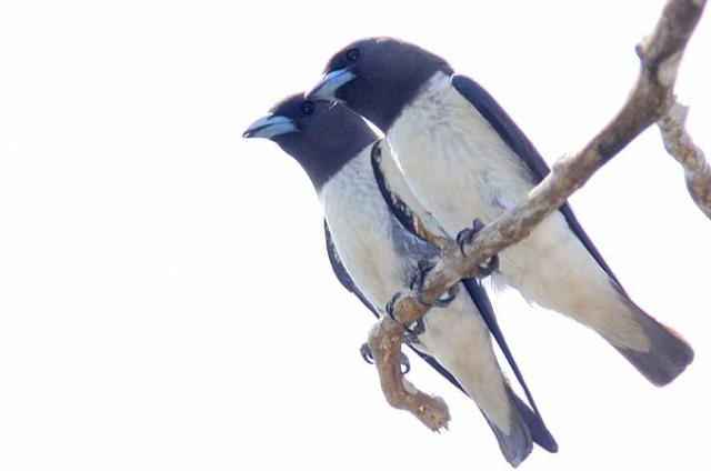 image 4736 of White-breasted Woodswallow