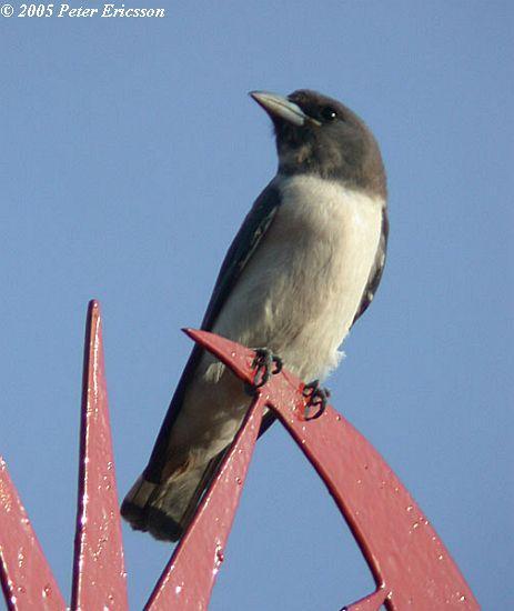 image 2637 of White-breasted Woodswallow