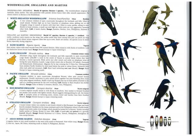 image 2877 of White-breasted Woodswallow