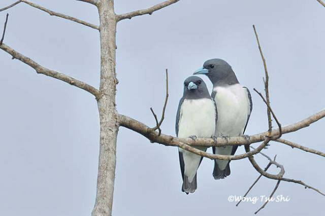 image 455 of White-breasted Woodswallow