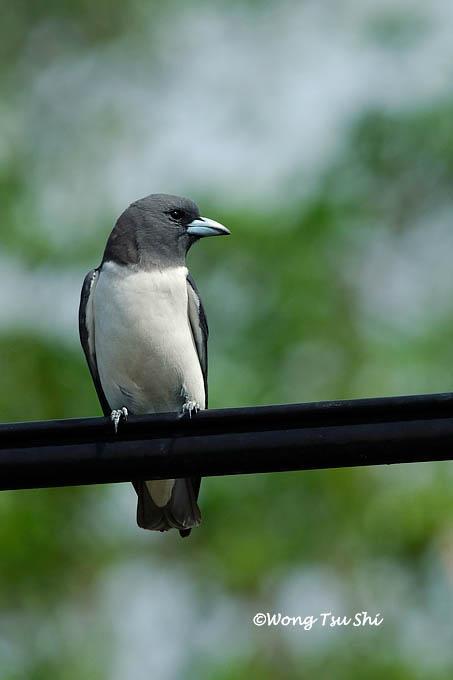 image 453 of White-breasted Woodswallow