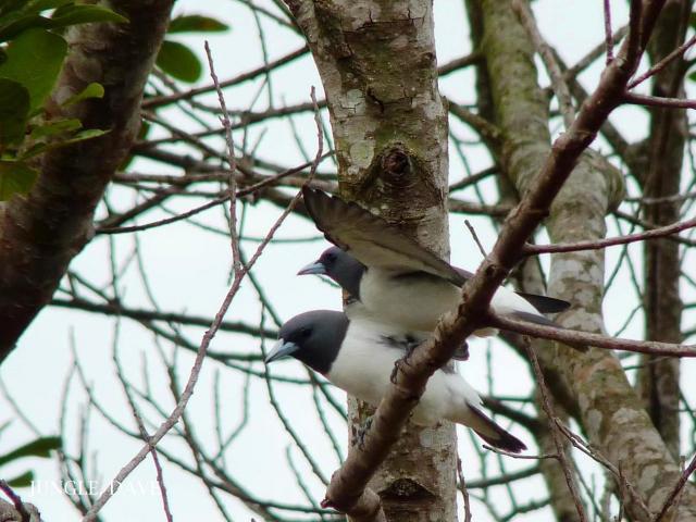 image 7956 of White-breasted Woodswallow