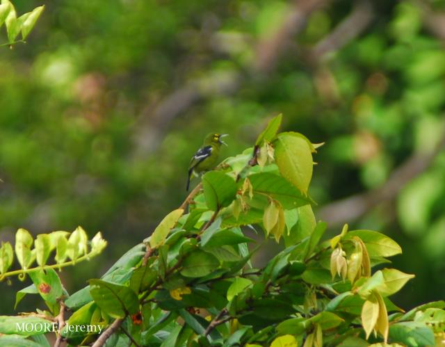 image 4670 of Green Iora