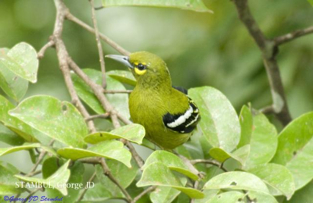 image 6050 of Green Iora