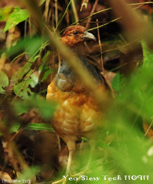 image 6410 of Long-billed Partridge