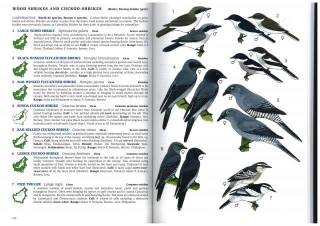 image 2843 of Bar-bellied Cuckoo-shrike
